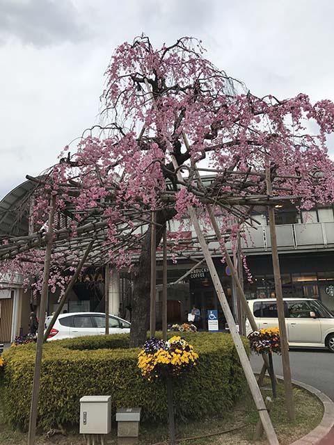 京都山科桜だより
